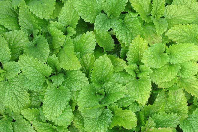 feuilles forskoline